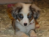 Miniature Australian Shepherd, 9 weeks, blue
